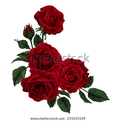 beautiful rose isolated on