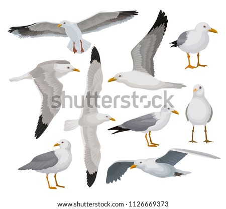 Beautiful seagull set, gray and white sea bird in different poses vector Illustrations on a white background