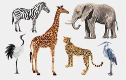 Beautiful tropical vintage illustration clip art background with zebra, giraffe, leopard, japanese crane, elephant, heron. Isolated on white background.