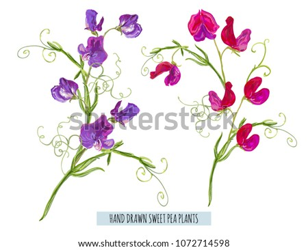 Sweet pea flowers set download free vector art stock graphics beautiful vector illustration set with hand drawn purple violet pink red sweet pea flowers perfect mightylinksfo