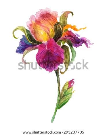 Beautiful watercolor iris flower. Watercolor floral illustration.