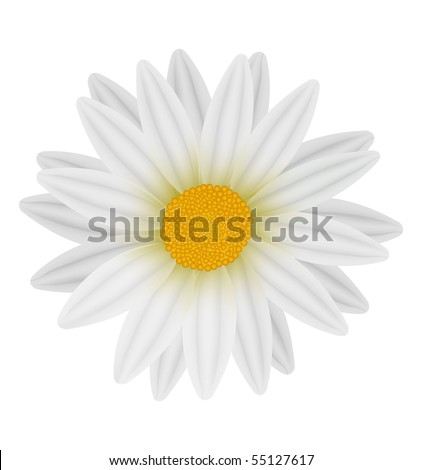 Beautiful white daisies isolated on white. Photo-realistic vector.