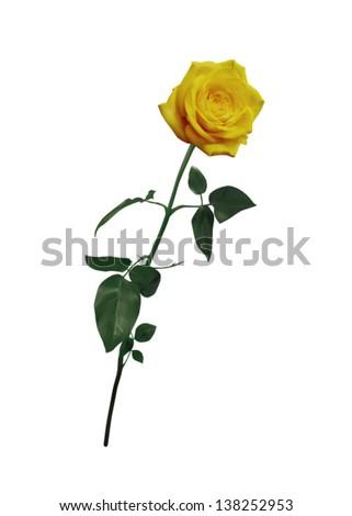 beautiful yellow rose on long