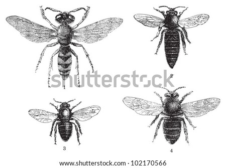 Bee - 1. European beewolf (Philanthus triangulum) - 2. Queen bee - 3. Worker bee - 4. Drone (male honey bee) / vintage illustration from Brockhaus Konversations-Lexikon 1908