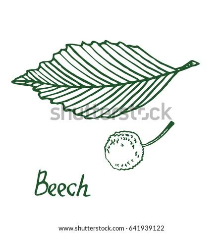 beech  beechwood or fagus  leaf