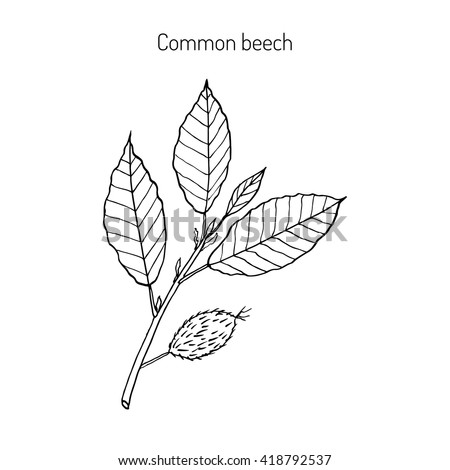 beech branch with leaves and
