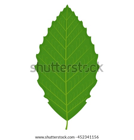 beech leaf vector illustration
