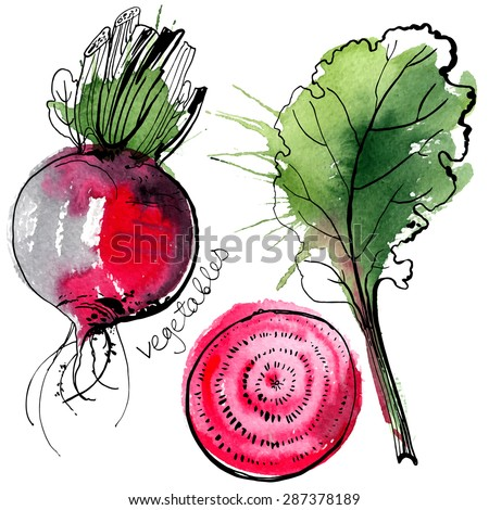 Beet painted with watercolors on white background. Study paints colored beets. Set vegetables and leaves. Vector food