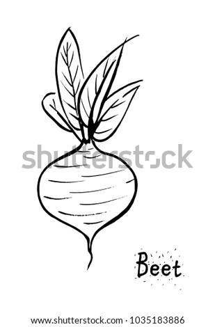 beet vector illustration. beet isolated