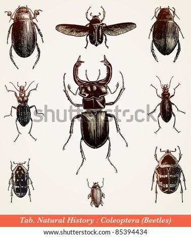 Beetles - vintage engraved illustration -