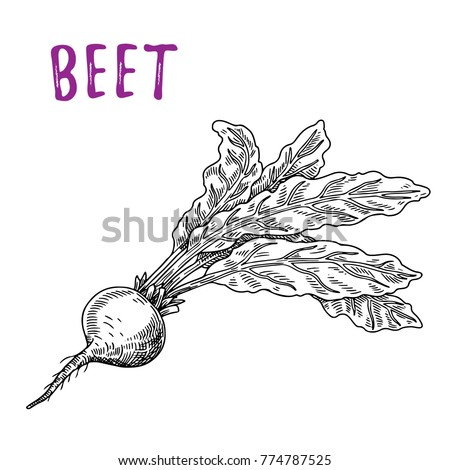 Beets, sketch of beets whole with tops