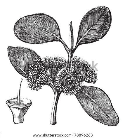 Bell-fruited Mallee or Eucalyptus preissiana, vintage engraving. Old engraved illustration of a Bell-fruited Mallee showing flowers and fruit (lower left).  Trousset encyclopedia (1886 - 1891)