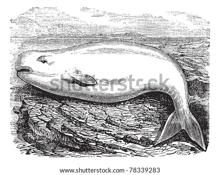 Beluga Whale or White Whale or Delphinapterus leucas, vintage engraving. Old engraved illustration of a Beluga. Trousset Encyclopedia