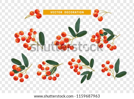 berries rowan  realistic on