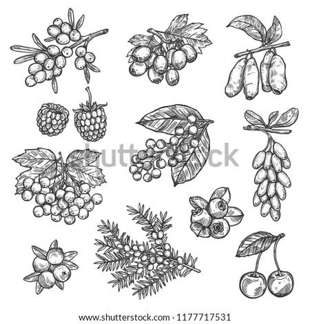 berries sketch of raspberry