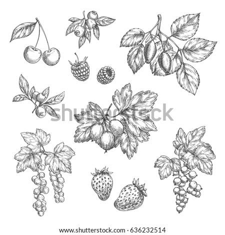 berries sketch vector icons set