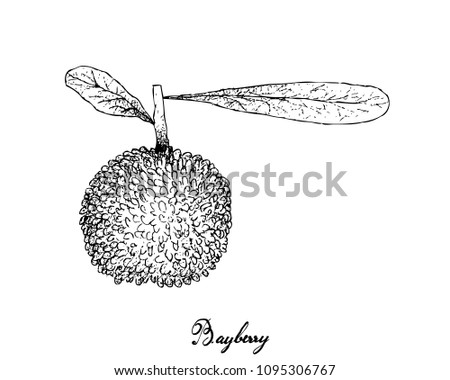 Berry Fruit, Illustration Hand Drawn Sketch of Fresh Bayberry or Myrica Rubra Fruits Isolated on White Background. High in Vitamin C with Essential Nutrient for Life.
