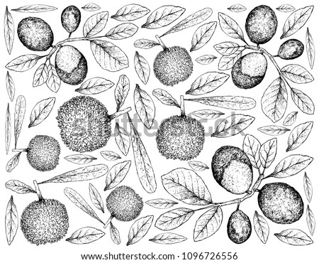 Berry Fruit, Illustration Wallpaper of Hand Drawn Sketch of Fresh Bayberry or Myrica Rubra and Cocoplum, Paradise Plum, Abajeru or Chrysobalanus Icaco Fruits Isolated on White Background.
