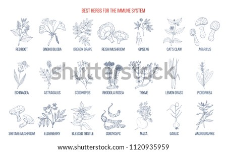 Best medicinal herbs for the immune system. Hand drawn set of medicinal herbs