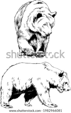 big brown grizzly bear drawn in ink by hand Stock fotó ©