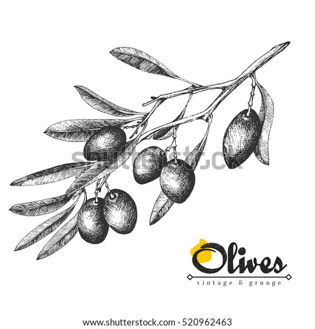 Big olive branch sketch vector illustration, olives hand drawn isolated, vintage olive tree with leaves over white background. Italian cuisine.