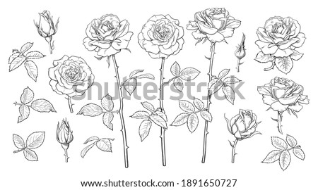 Big set of rose flowers, open and unblown rosebuds, leaves and stems Hand drawn realistic vector illustration. Decorative elements for tattoo, greeting card, wedding invitation in engraving style.