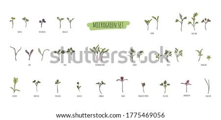 Big vector set of micro greens. Herbs - carrots, chicory, purslane, radishes, beets, shungiku, cabbage, kale, alfalfa, scallion, pac choi, broccoli, mustard, gress salad on white background. Foto stock ©