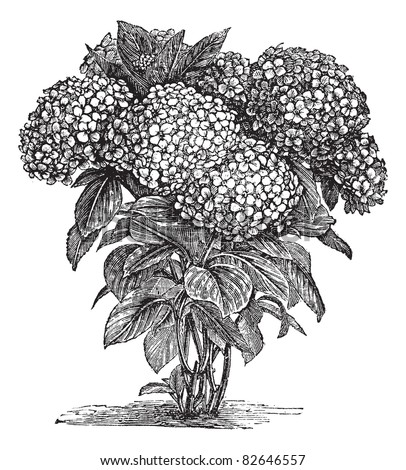 Bigleaf Hydrangea or Hydrangea macrophylla or French Hydrangea or Lacecap Hydrangea or Mophead Hydrangea or Penny Mac or Hortensia, vintage engraving.Trousset encyclopedia (1886 - 1891).
