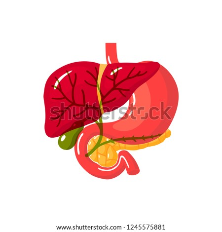 Bile duct of a human.Vector illustration in flat style Stock photo ©