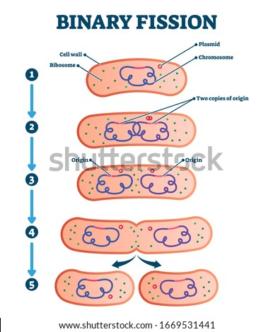 Binary fission process, vector illustration diagram. Labeled cell reproduction division stages scheme. Biology science educational information. Ribosome,cell wall,plasmid and chromosome copying steps. Stock photo ©