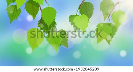 birch branch with fresh spring
