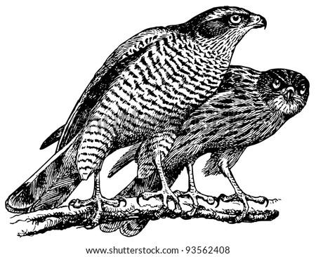 Bird Northern Goshawk