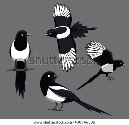 bird poses black billed magpie