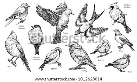 Bird species hand drawn set. Vector isolated flying pigeon, swallow, sparrow, robin, starling, blue tit, lark, northern cardinal, oriole, american goldfinch, eastern bluebird. Linear engraved art.