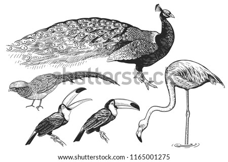 Birds set. Realistic isolated figure of peacocks, toucan, flamingos, pheasant. Hand drawing of bird from wild. Black figure on white background. Vector illustration. Vintage engraving style. Nature