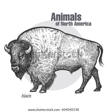 bison. hand drawing of wildlife....