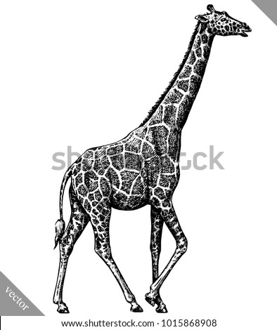 black and white engrave isolated giraffe vector illustration