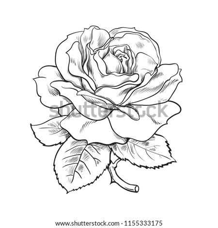Black and white rose flower with leaves and stem. Realistic vector illustration of open rose bud. Decorative element for tattoo, greeting card, wedding invitation. Hand drawn sketch.