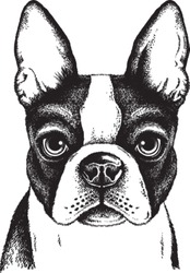 Black and white vector sketch of a fawn Boston Terrier's face