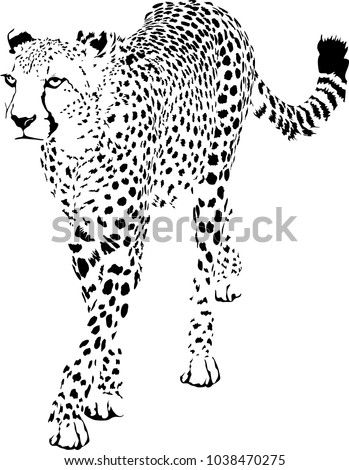 Black and white vector sketch of walks adult Cheetah (Acinonyx jubatus)