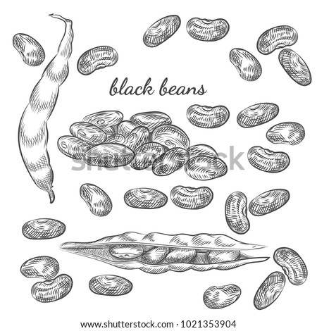 Black beans hand drawn sketch on white background. Beans and pods illustration for your design.
