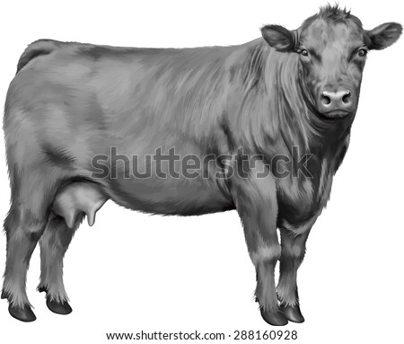 Black Cow isolated on white background. Vector illustration