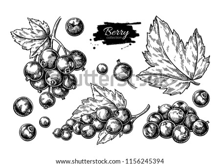 Black currant vector drawing. Isolated berry branch sketch on white background.  Summer fruit engraved style illustration. Detailed hand drawn vegetarian food. Great for label, poster, print Foto stock ©