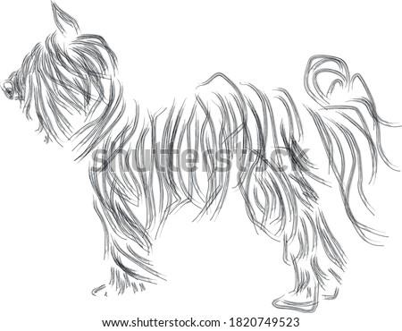 black dog  yorkshire terrier