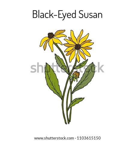 Black-eyed Susan (Rudbeckia hirta), or brown betty, gloriosa daisy, golden Jerusalem, medicinal plant. Hand drawn botanical vector illustration