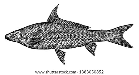 Black Horse Fish grows to two and a half feet in length common in Mississippi, vintage line drawing or engraving illustration.
