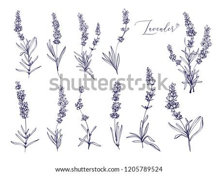 Black line lavender. Vector hand drawn tea herb Illustration set. Vintage retro sketch element for labels, packaging, textile and cards design.