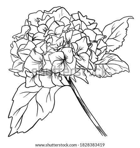 Black outline of hydrangea on a white background. Hand drawn hydrangea, vector illustration in vintage style. Style for 8 March, wedding, Valentine's Day, Mother's Day, sales and other seasonal events Foto stock ©