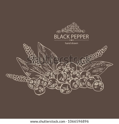 Black pepper: plant, pepper and leaves. Vector hand drawn illustration.