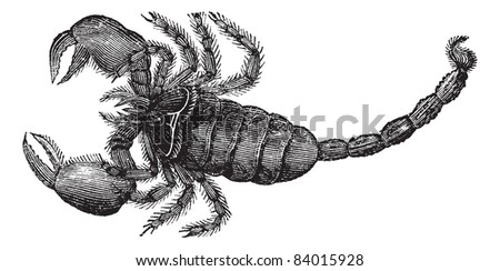 black scorpion  scorpio afer